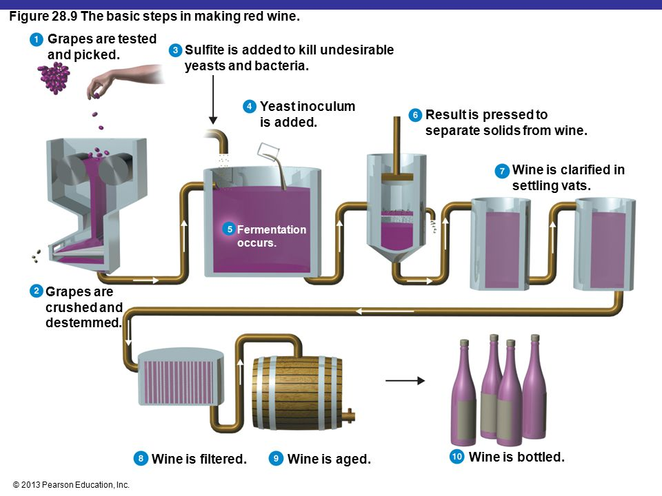 © 2013 Pearson Education, Inc. Figure 28.9 The basic steps in making red wine. Grapes are tested and picked. Grapes are crushed and destemmed. Sulfite