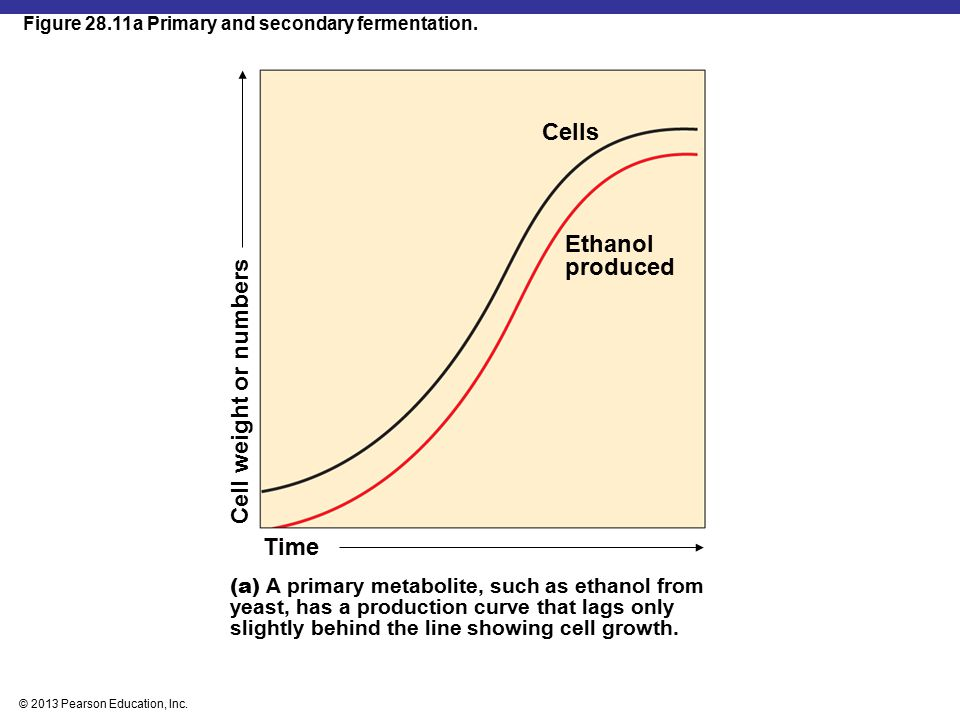 © 2013 Pearson Education, Inc. Figure 28.11a Primary and secondary fermentation. Time Cell weight or numbers (a) A primary metabolite, such as ethanol