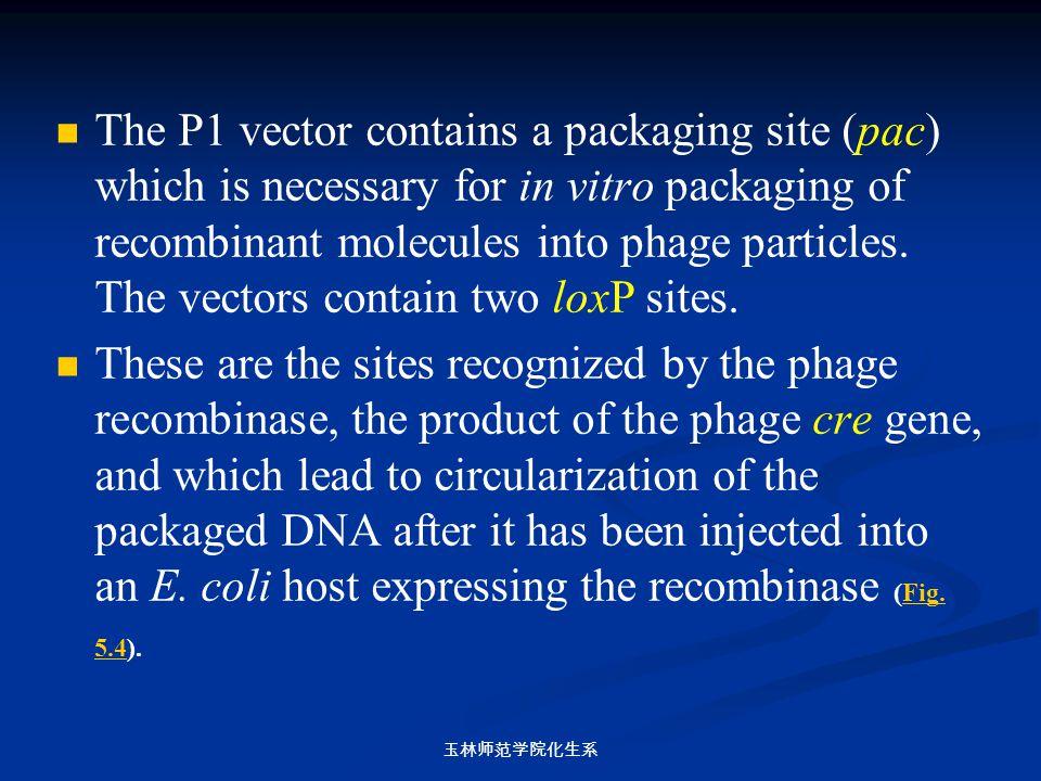 玉林师范学院化生系 The P1 vector contains a packaging site (pac) which is necessary for in vitro packaging of recombinant molecules into phage particles. The v