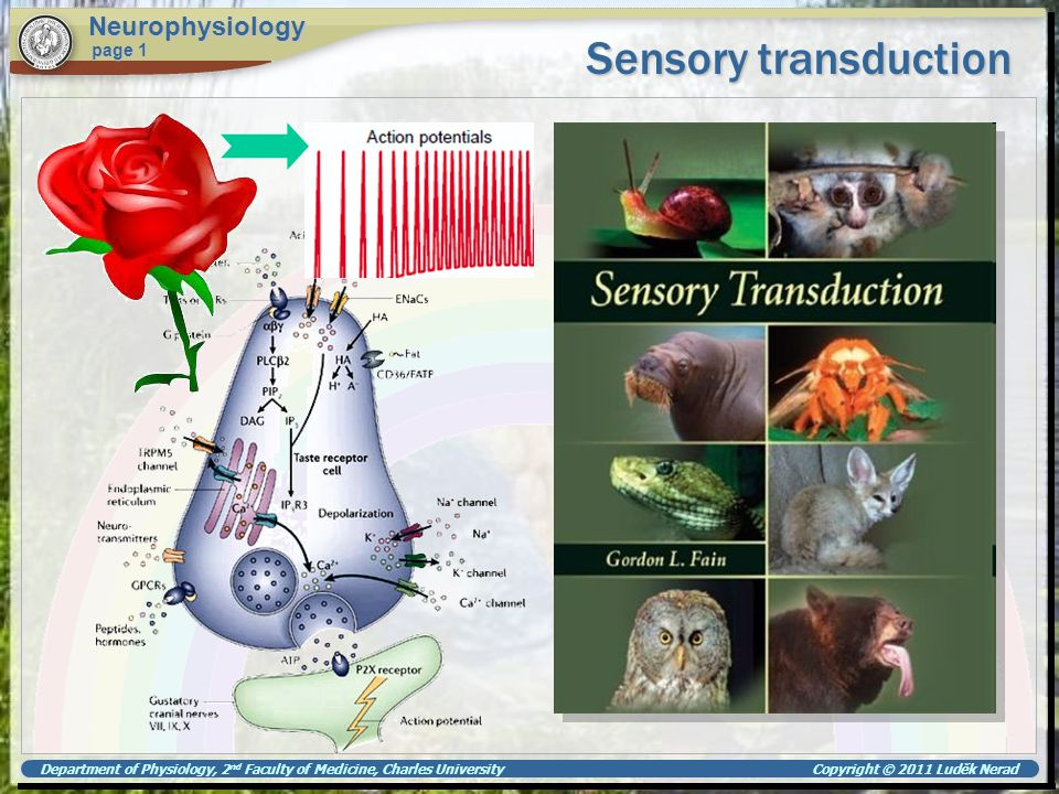 Department of Physiology, 2 nd Faculty of Medicine, Charles University Copyright © 2011 Luděk Nerad Summary Neurophysiology page 1 Sensory transduction in general Specific sensory systems Receptor neurones Receptor potential Olfactory Gustatory Visual Auditory