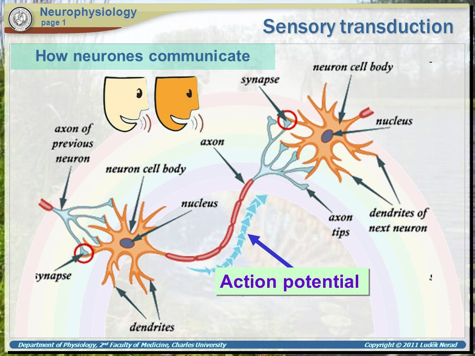 Department of Physiology, 2 nd Faculty of Medicine, Charles University Copyright © 2011 Luděk Nerad Sensory transduction Neurophysiology page 1 Action potential Voltage-gated Na + and K + ion channels Na + K+K+ K+K+