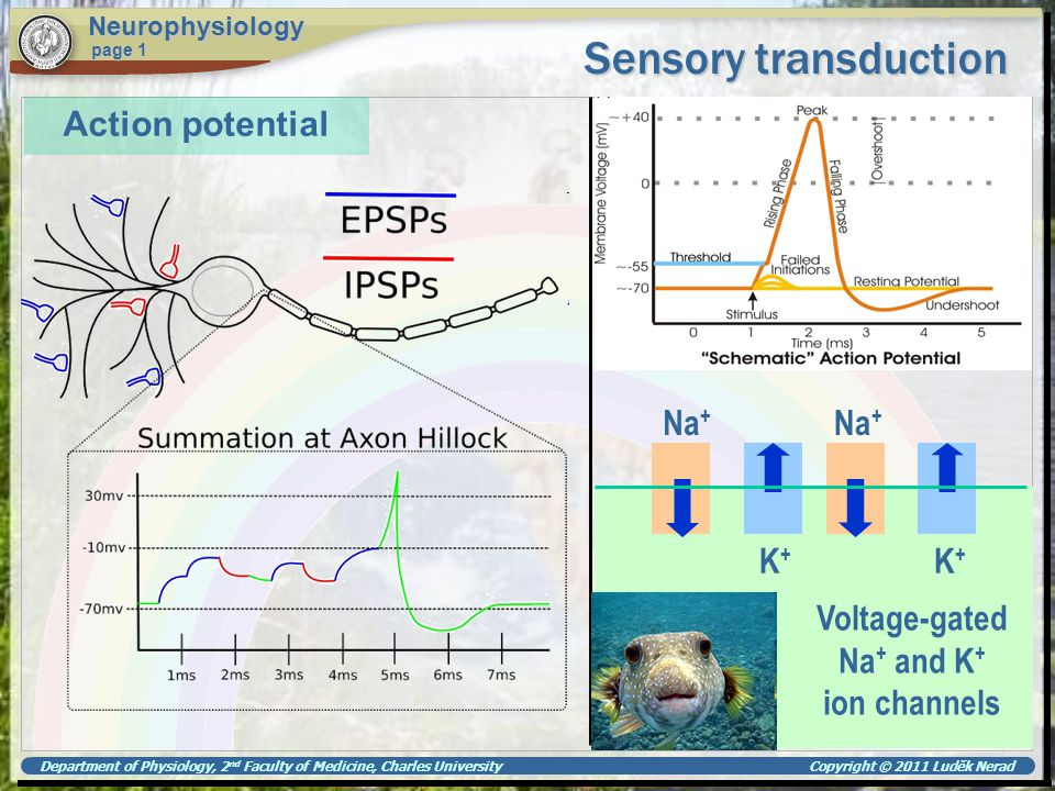 Department of Physiology, 2 nd Faculty of Medicine, Charles University Copyright © 2011 Luděk Nerad Sensory transduction Neurophysiology page 1 Postsynaptic potentials Neurotransmission at a chemical synapse Source of excitation is another neurone