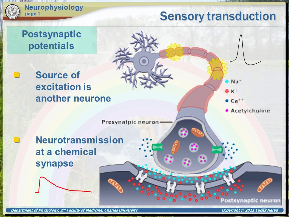Department of Physiology, 2 nd Faculty of Medicine, Charles University Copyright © 2011 Luděk Nerad Sensory transduction Neurophysiology page 1 Reception