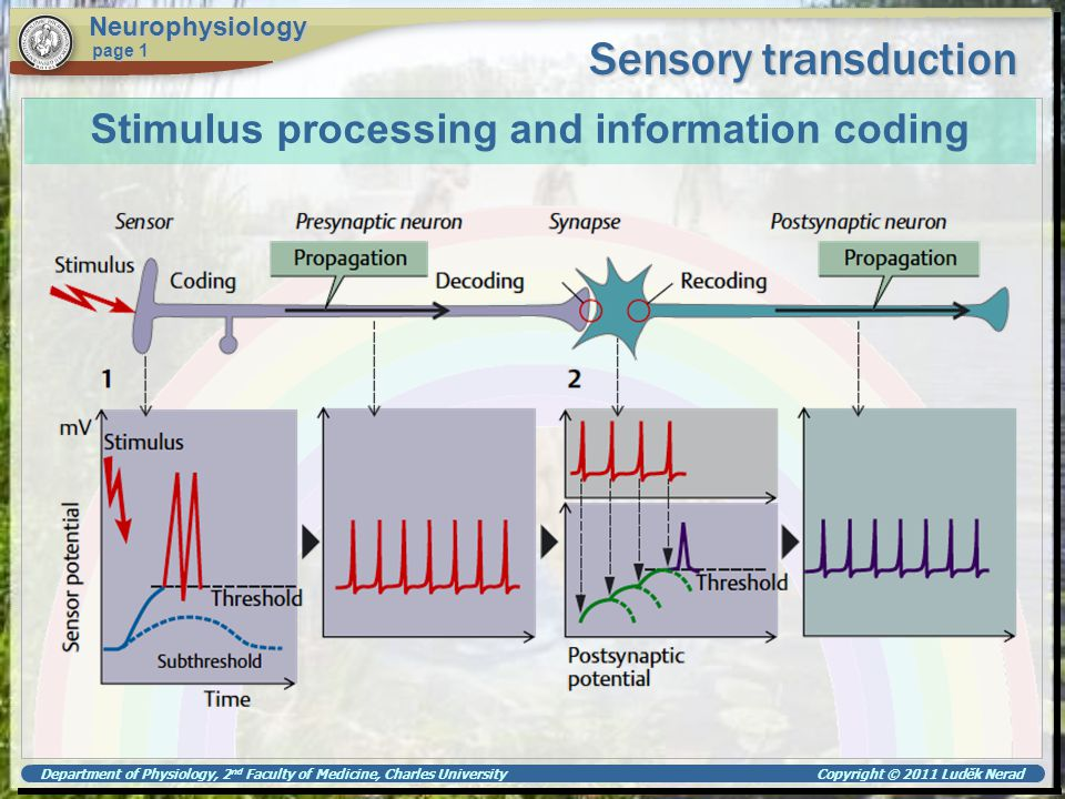 Department of Physiology, 2 nd Faculty of Medicine, Charles University Copyright © 2011 Luděk Nerad Sensory transduction Neurophysiology page 1 Photo-transduction in rods rhodopsin