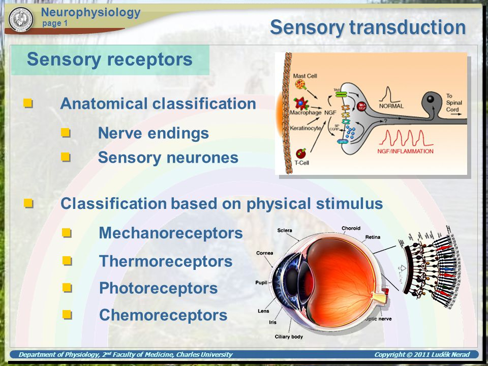 Department of Physiology, 2 nd Faculty of Medicine, Charles University Copyright © 2011 Luděk Nerad Sensory transduction Neurophysiology page 1 Rhodopsin cycle rhodopsin scotopsin all-trans retinal Metarhodopsin II triggers cell hyperpolarisation