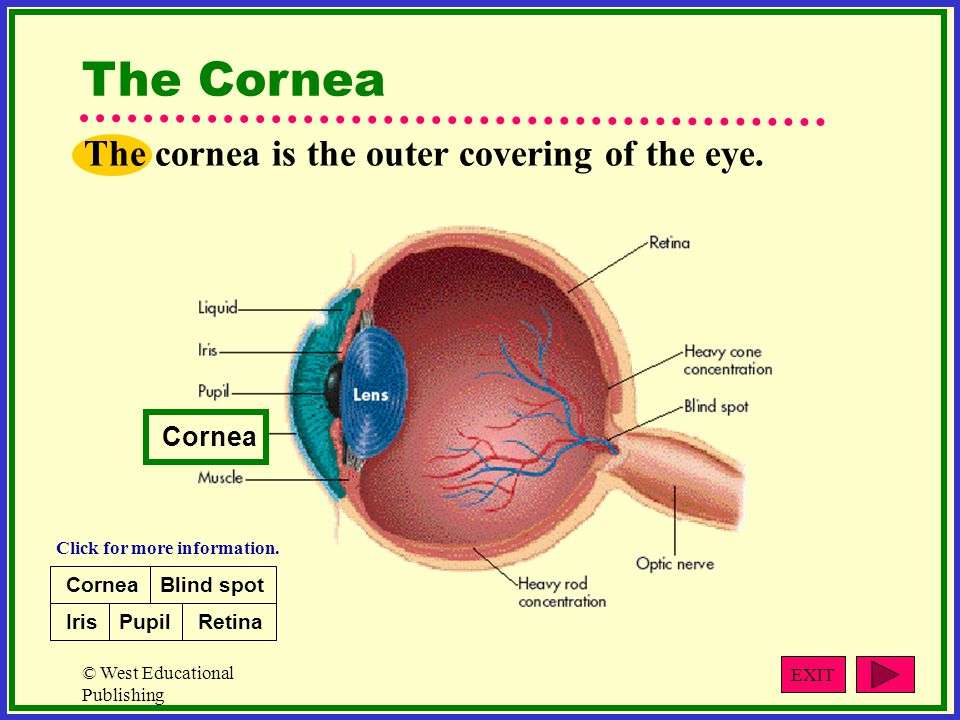 © West Educational Publishing The Cornea The cornea is the outer covering of the eye.