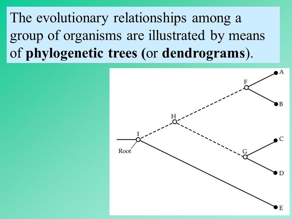 11 The evolutionary relationships among a group of organisms are illustrated by means of phylogenetic trees (or dendrograms).