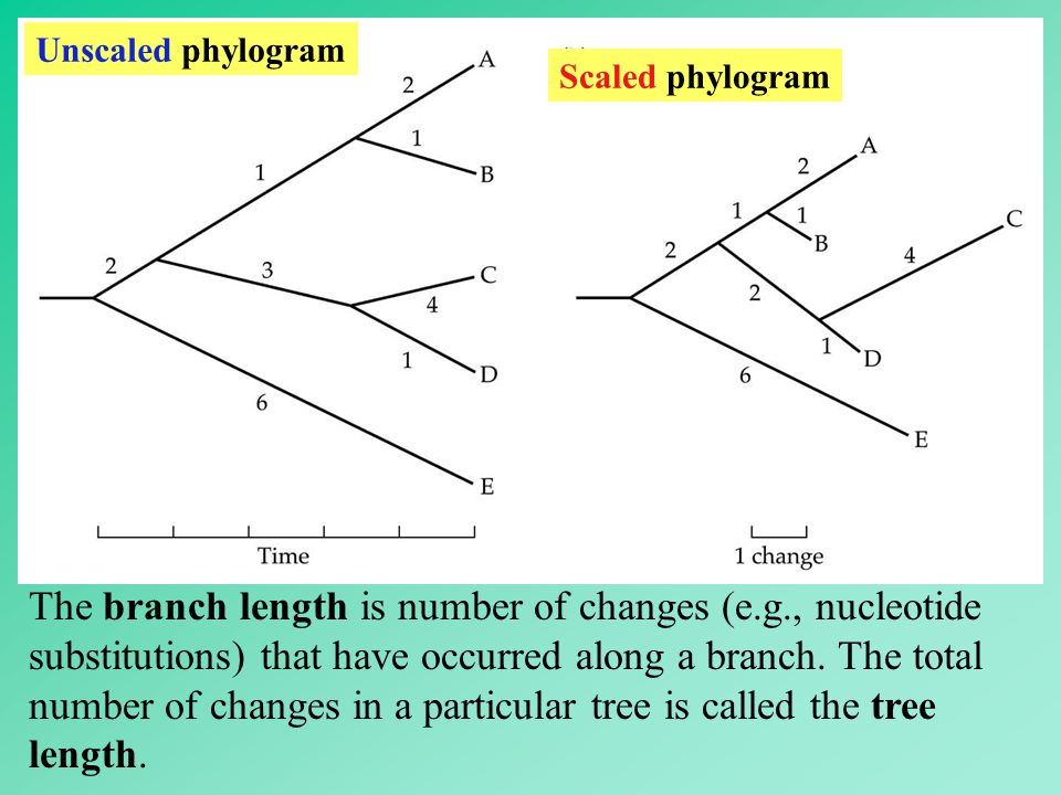 Unscaled phylogram Scaled phylogram The branch length is number of changes (e.g., nucleotide substitutions) that have occurred along a branch. The tot