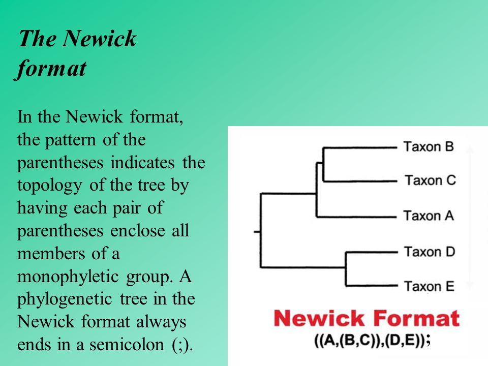 34 The Newick format In the Newick format, the pattern of the parentheses indicates the topology of the tree by having each pair of parentheses enclos