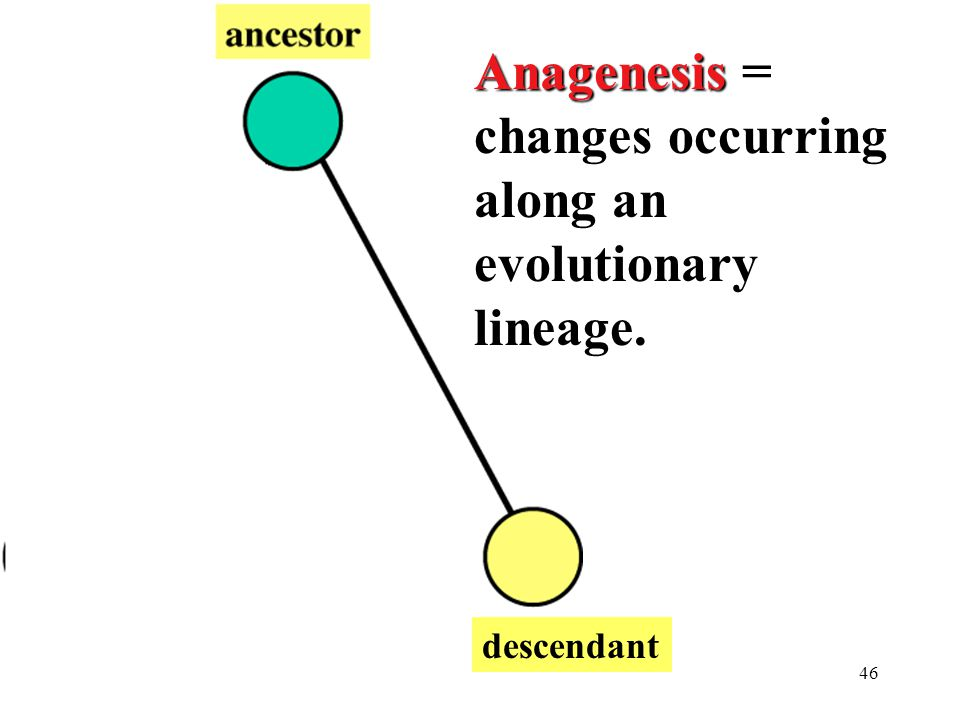 46 descendant Anagenesis Anagenesis = changes occurring along an evolutionary lineage.