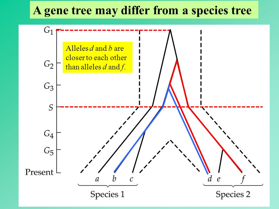 55 A gene tree may differ from a species tree Alleles d and b are closer to each other than alleles d and f.