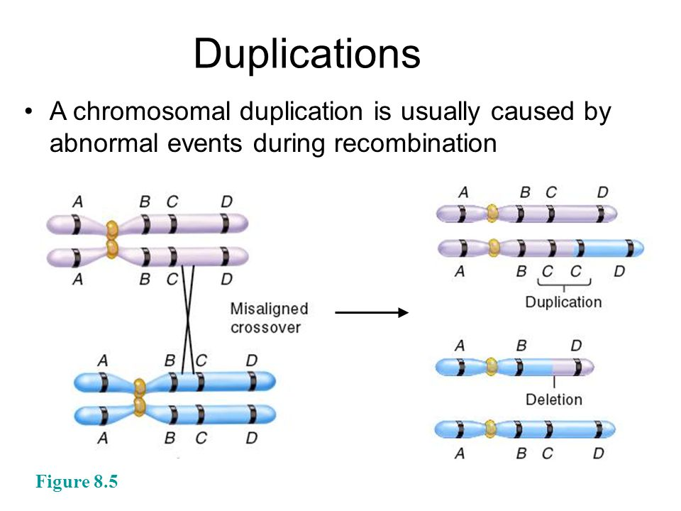 A chromosomal duplication is usually caused by abnormal events during recombination Duplications Figure 8.5