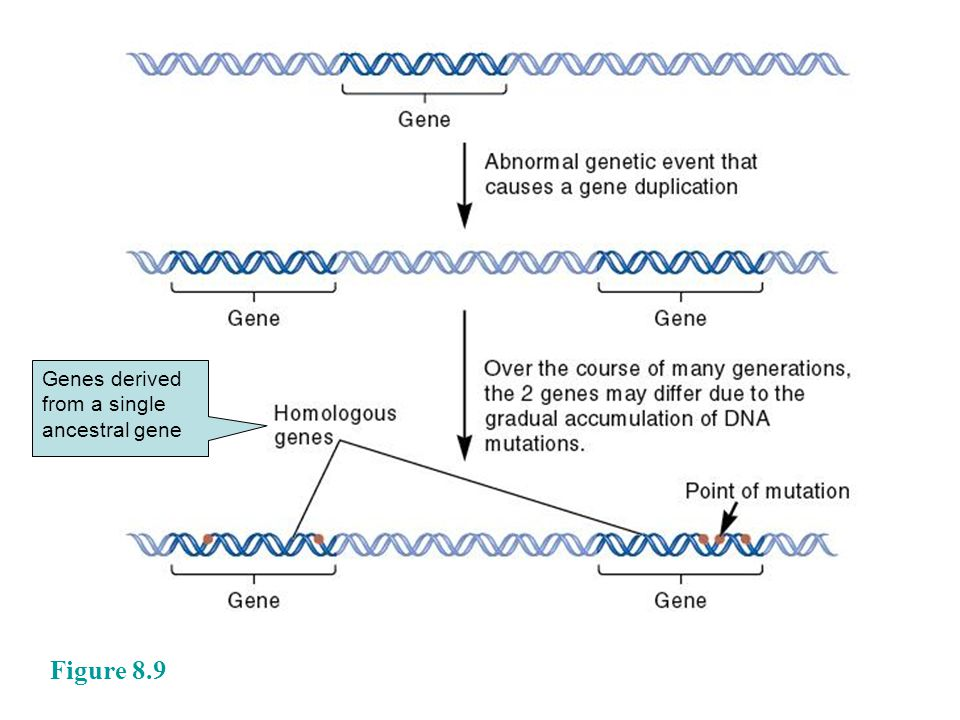 Figure 8.9 Genes derived from a single ancestral gene