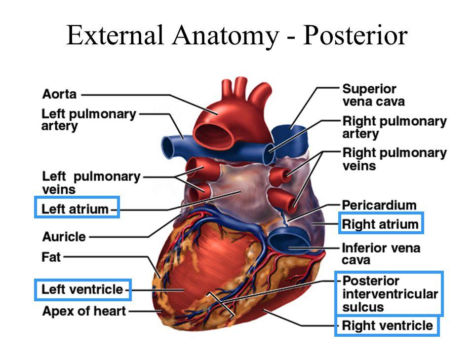External Anatomy - Posterior