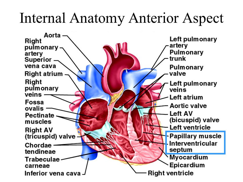 Internal Anatomy Anterior Aspect
