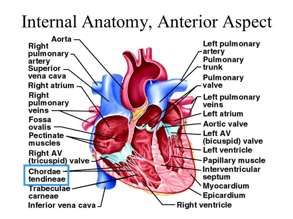 Internal Anatomy, Anterior Aspect