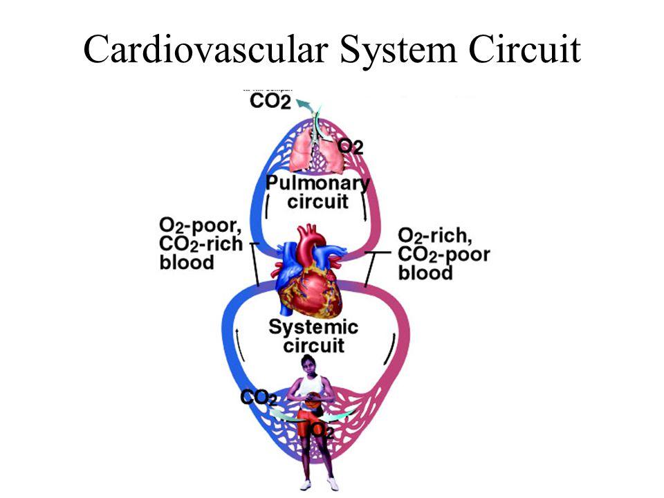 Cardiovascular System Circuit