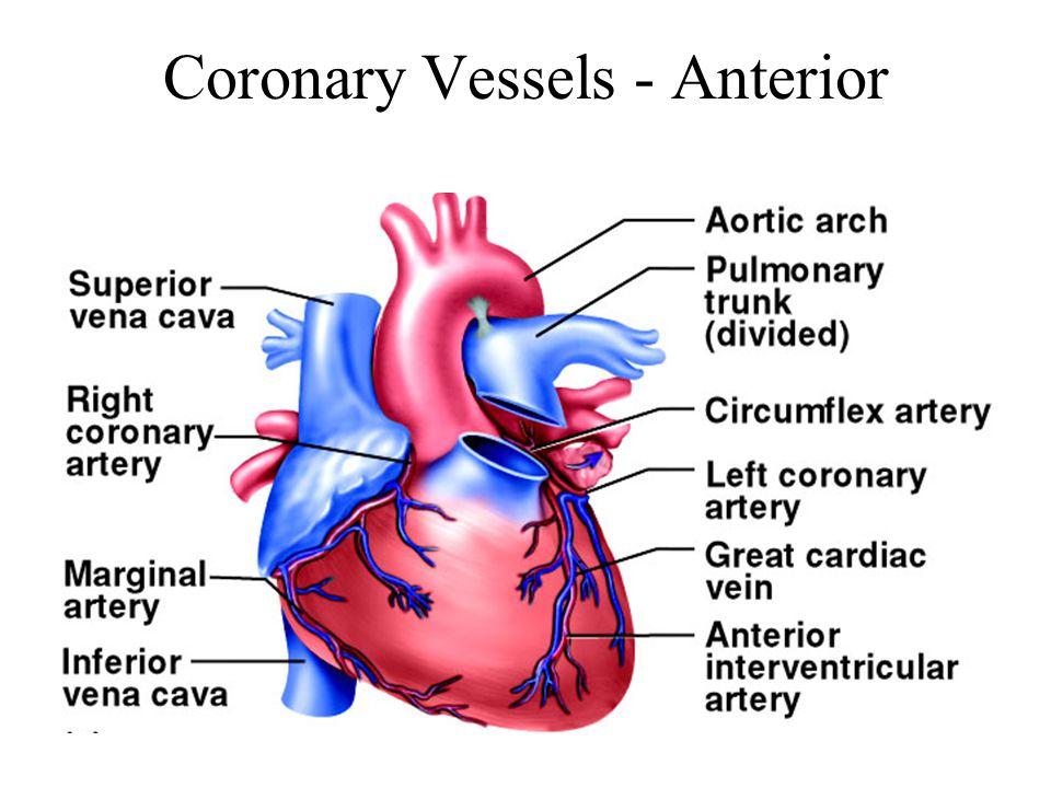 Coronary Vessels - Anterior