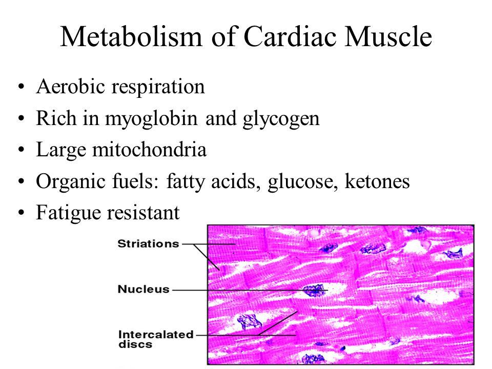 Metabolism of Cardiac Muscle Aerobic respiration Rich in myoglobin and glycogen Large mitochondria Organic fuels: fatty acids, glucose, ketones Fatigue resistant
