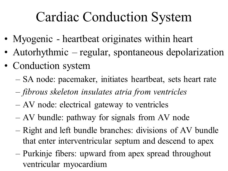 Cardiac Conduction System Myogenic - heartbeat originates within heart Autorhythmic – regular, spontaneous depolarization Conduction system –SA node: pacemaker, initiates heartbeat, sets heart rate –fibrous skeleton insulates atria from ventricles –AV node: electrical gateway to ventricles –AV bundle: pathway for signals from AV node –Right and left bundle branches: divisions of AV bundle that enter interventricular septum and descend to apex –Purkinje fibers: upward from apex spread throughout ventricular myocardium