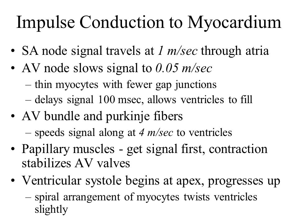 Impulse Conduction to Myocardium SA node signal travels at 1 m/sec through atria AV node slows signal to 0.05 m/sec –thin myocytes with fewer gap junctions –delays signal 100 msec, allows ventricles to fill AV bundle and purkinje fibers –speeds signal along at 4 m/sec to ventricles Papillary muscles - get signal first, contraction stabilizes AV valves Ventricular systole begins at apex, progresses up –spiral arrangement of myocytes twists ventricles slightly