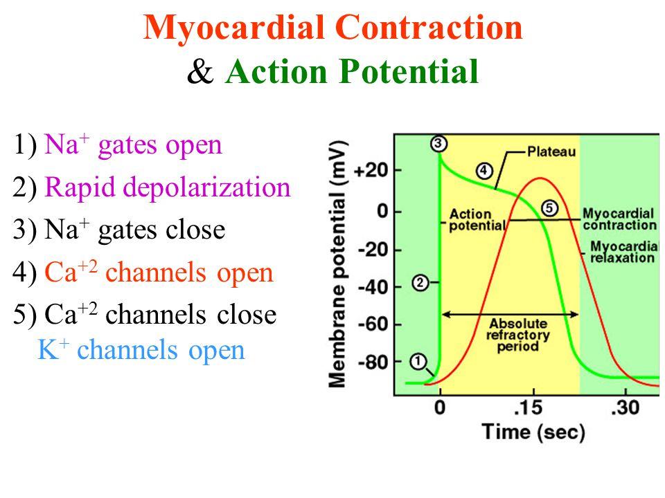 Myocardial Contraction & Action Potential 1) Na + gates open 2) Rapid depolarization 3) Na + gates close 4) Ca +2 channels open 5) Ca +2 channels close K + channels open