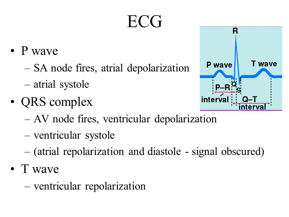 ECG P wave –SA node fires, atrial depolarization –atrial systole QRS complex –AV node fires, ventricular depolarization –ventricular systole –(atrial repolarization and diastole - signal obscured) T wave –ventricular repolarization