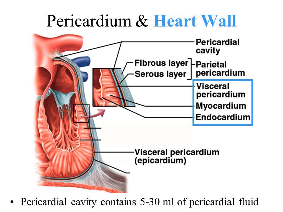 Pericardium & Heart Wall Pericardial cavity contains 5-30 ml of pericardial fluid