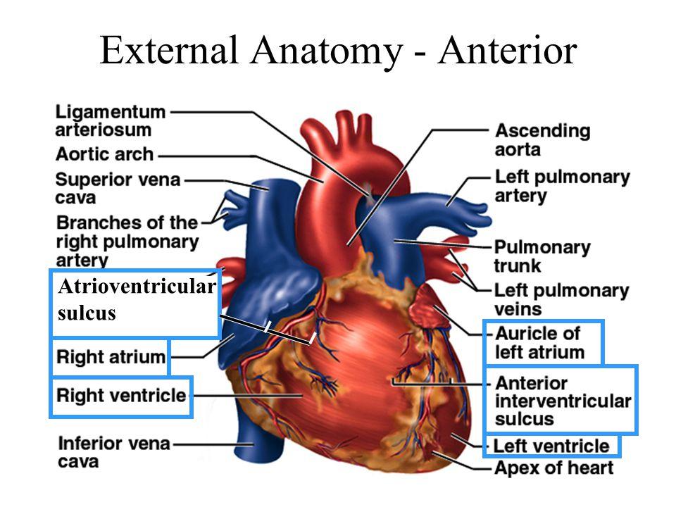 External Anatomy - Anterior Atrioventricular sulcus