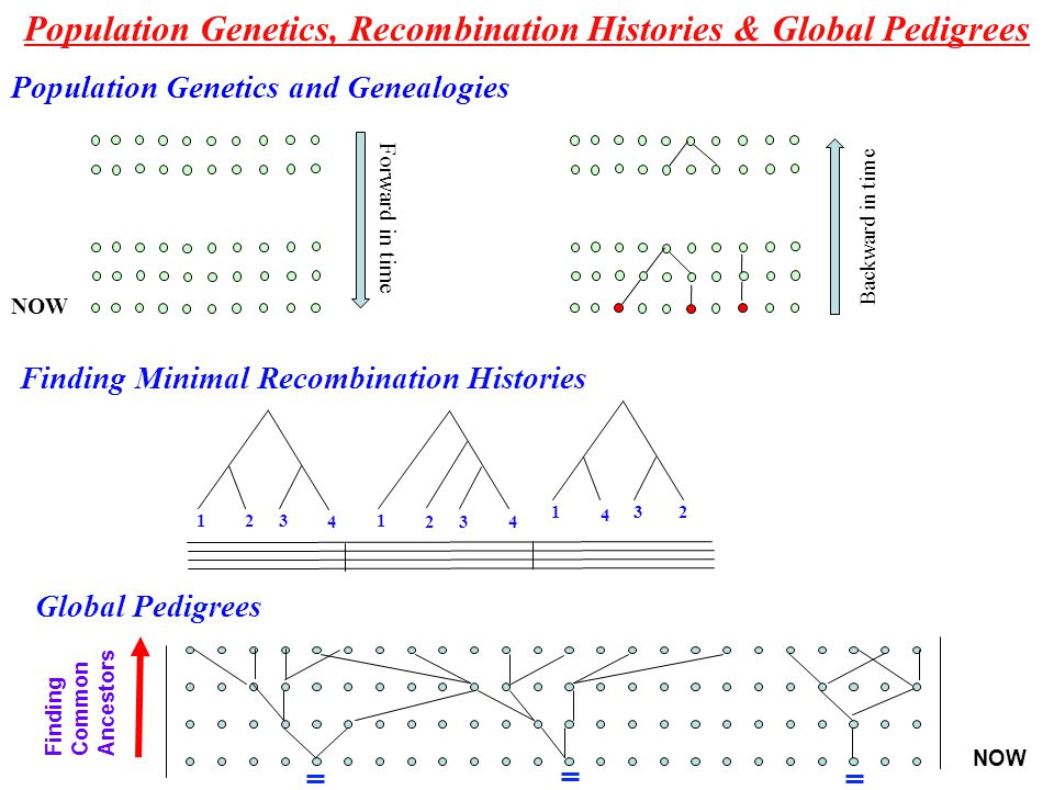 Population Genetics, Recombination Histories & Global Pedigrees Finding Minimal Recombination Histories 1 23 4 1 23 4 1 2 3 4 Global Pedigrees Finding Common Ancestors NOW Population Genetics and Genealogies NOW Forward in time Backward in time