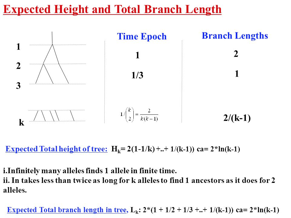 Expected Height and Total Branch Length Expected Total height of tree: H k = 2(1-1/k) +..+ 1/(k-1)) ca= 2*ln(k-1) 1 2 3 k 2 1 2/(k-1) Branch Lengths 1/3 1 Time Epoch i.Infinitely many alleles finds 1 allele in finite time.