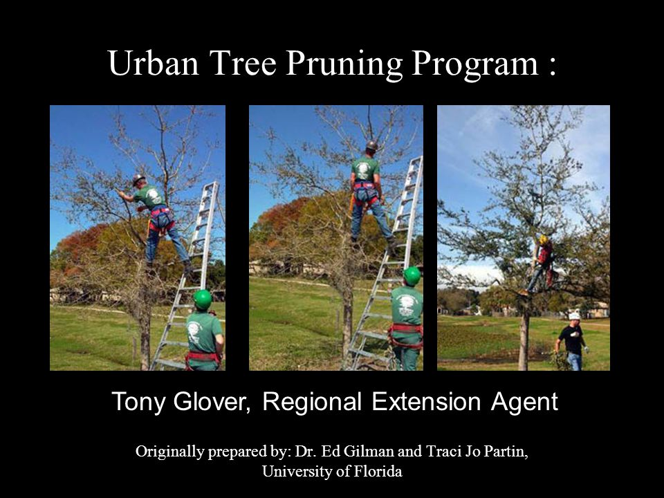 Structural Pruning Strategies: 1.Develop or maintain a dominant leader 2.Identify lowest branch in the permanent canopy 3.