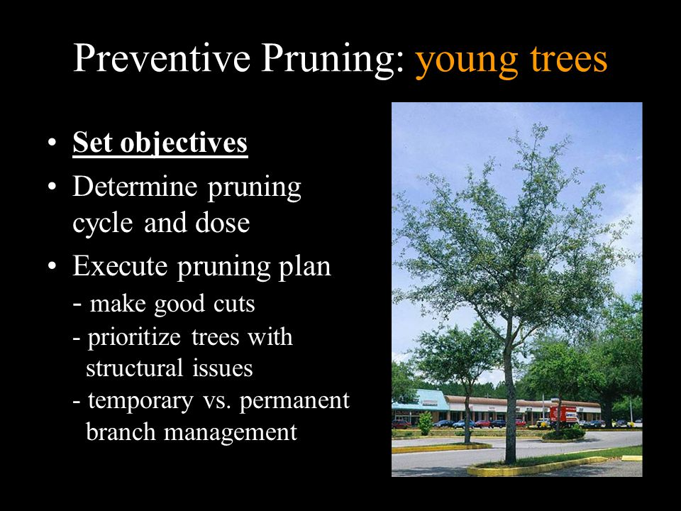Preventive Pruning: young trees Set objectives Determine pruning cycle and dose Execute pruning plan - make good cuts - prioritize trees with structural issues - temporary vs.