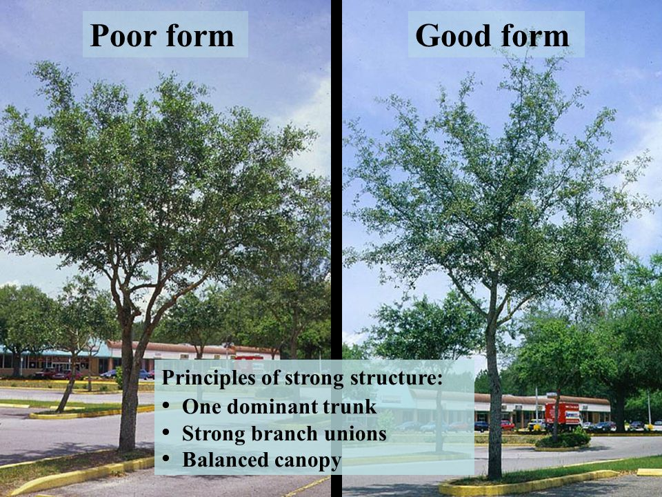 Objective: Reduce structural issues that cause tree failure Codominant stems: stems of equal size originating from the same point on the tree Included bark: bark pinched between two stems, indicating a weak union Unbalanced canopy: one side much heavier, or most weight at the tips of branches Large low branches: