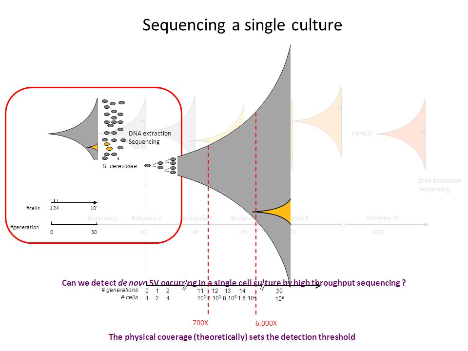 #generation Bottleneck 1 60901201502400 Bottleneck 2Bottleneck 3Bottleneck 4Bottleneck 5 Bottleneck 80 030 #cells12410 9 Sequencing a single culture Can we detect de novo SV occurring in a single cell culture by high throughput sequencing .