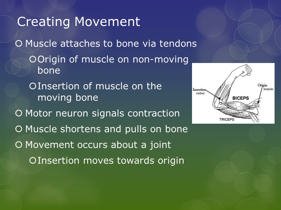 Creating Movement  Muscle attaches to bone via tendons  Origin of muscle on non-moving bone  Insertion of muscle on the moving bone  Motor neuron