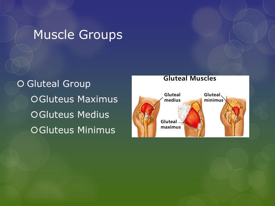Muscle Groups  Gluteal Group  Gluteus Maximus  Gluteus Medius  Gluteus Minimus