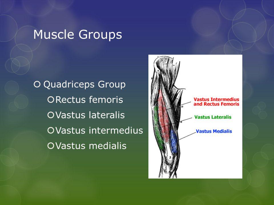Muscle Groups  Quadriceps Group  Rectus femoris  Vastus lateralis  Vastus intermedius  Vastus medialis