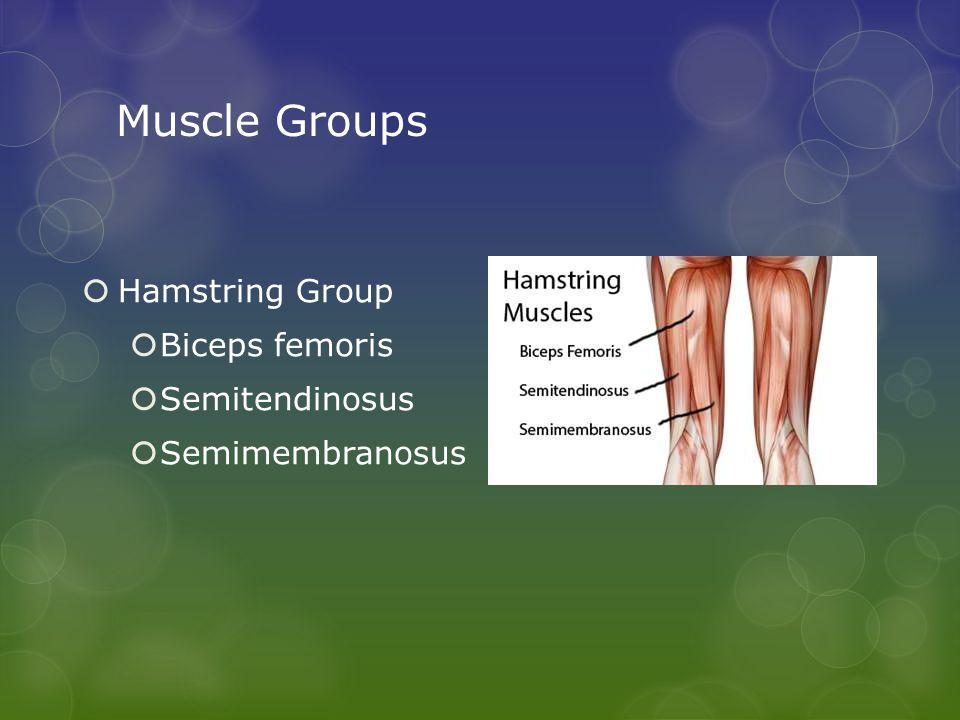 Muscle Groups  Hamstring Group  Biceps femoris  Semitendinosus  Semimembranosus