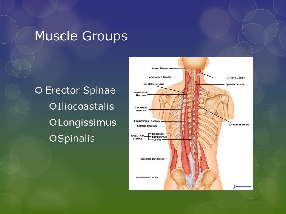 Muscle Groups  Erector Spinae  Iliocoastalis  Longissimus  Spinalis