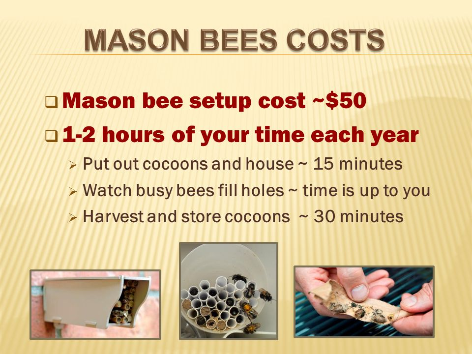  Mason bee setup cost ~$50  1-2 hours of your time each year  Put out cocoons and house ~ 15 minutes  Watch busy bees fill holes ~ time is up to you  Harvest and store cocoons ~ 30 minutes