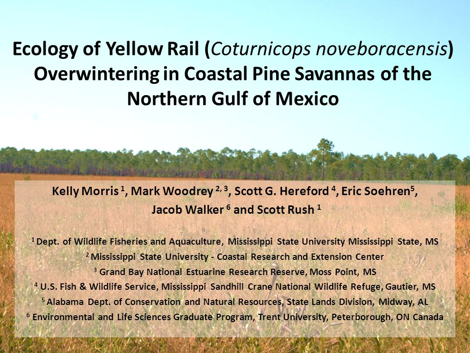 Ecology of Yellow Rail (Coturnicops noveboracensis) Overwintering in Coastal Pine Savannas of the Northern Gulf of Mexico Kelly Morris 1, Mark Woodrey