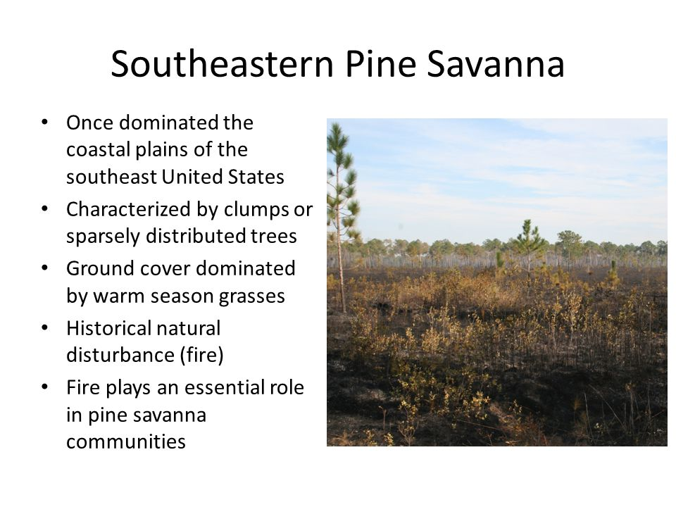 Southeastern Pine Savanna Once dominated the coastal plains of the southeast United States Characterized by clumps or sparsely distributed trees Groun