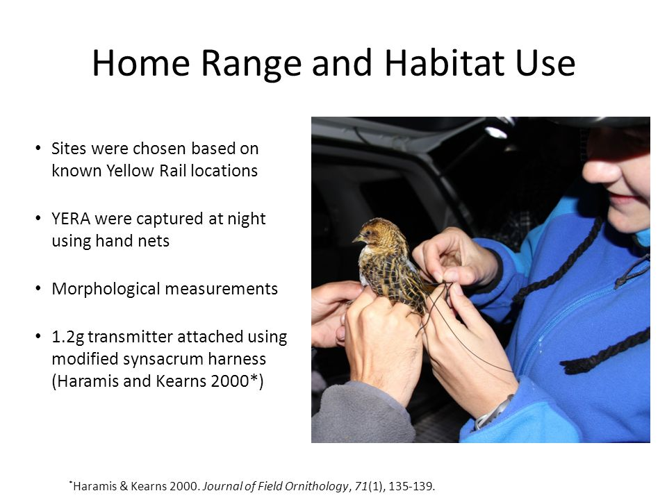 Home Range and Habitat Use Sites were chosen based on known Yellow Rail locations YERA were captured at night using hand nets Morphological measuremen