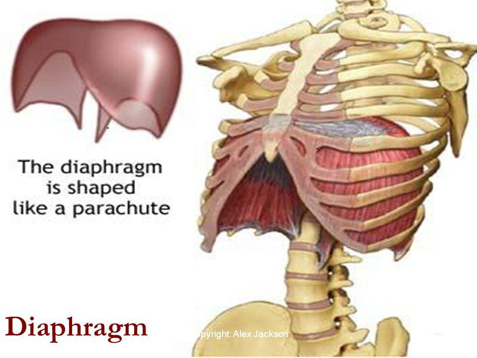 Diaphragm Copyright: Alex Jackson