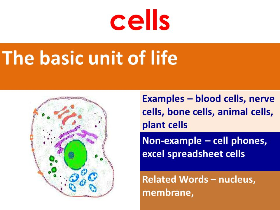 The basic unit of life Examples – blood cells, nerve cells, bone cells, animal cells, plant cells Non-example – cell phones, excel spreadsheet cells Related Words – nucleus, membrane, cells