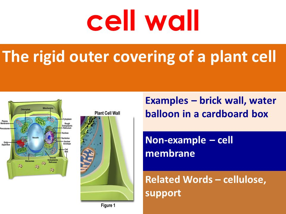 The rigid outer covering of a plant cell Examples – brick wall, water balloon in a cardboard box Non-example – cell membrane Related Words – cellulose, support cell wall