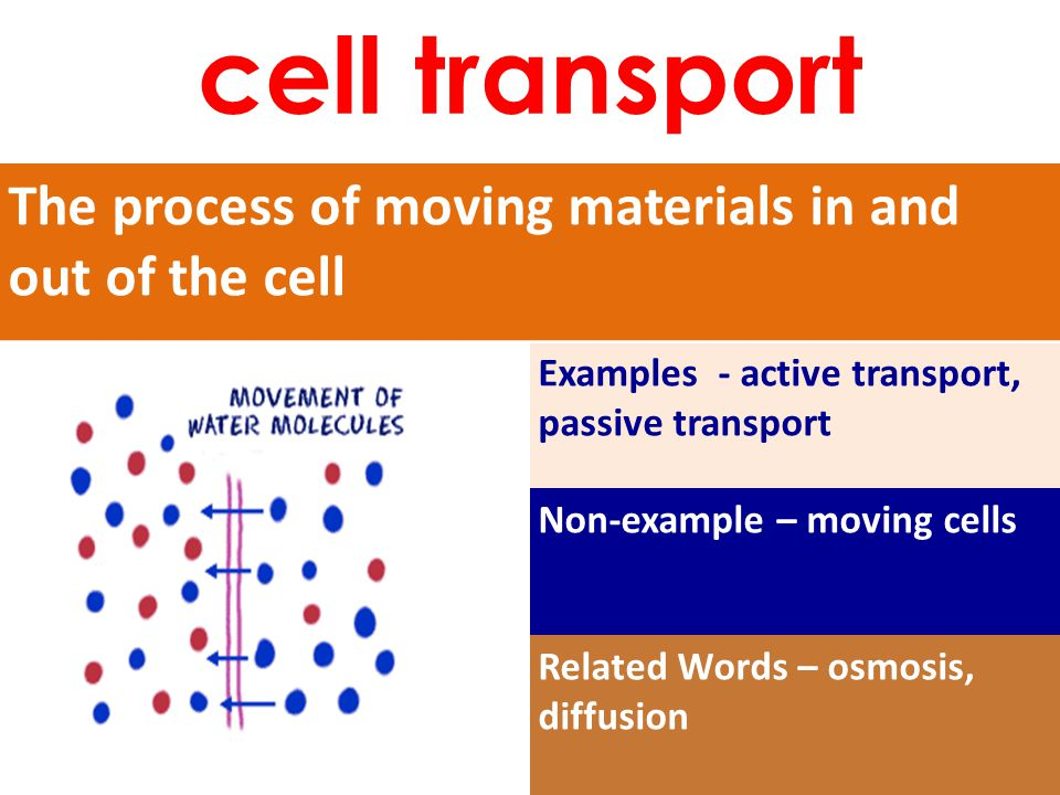 The process of moving materials in and out of the cell Examples - active transport, passive transport Non-example – moving cells Related Words – osmosis, diffusion cell transport