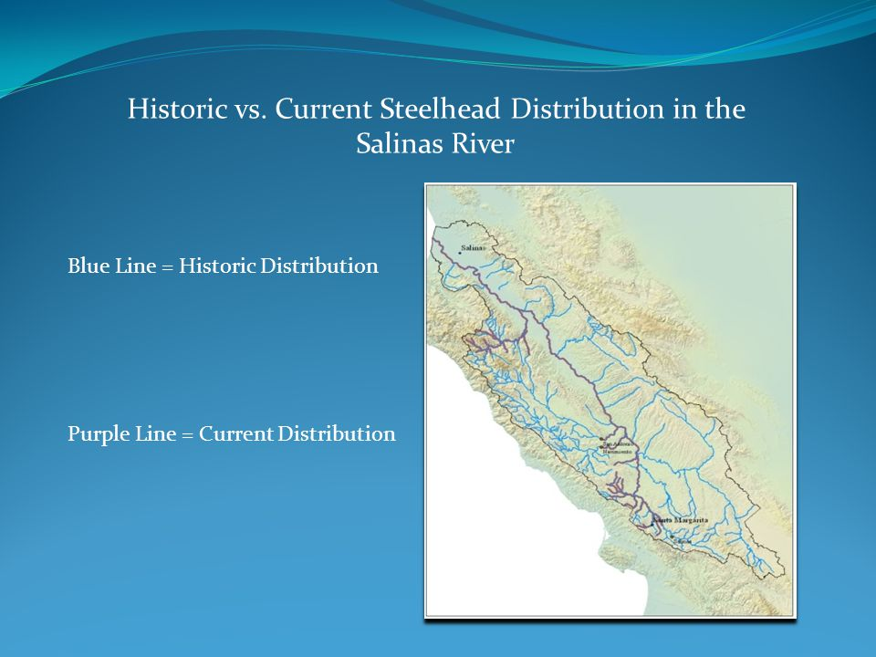 Historic vs. Current Steelhead Distribution in the Salinas River Blue Line = Historic Distribution Purple Line = Current Distribution