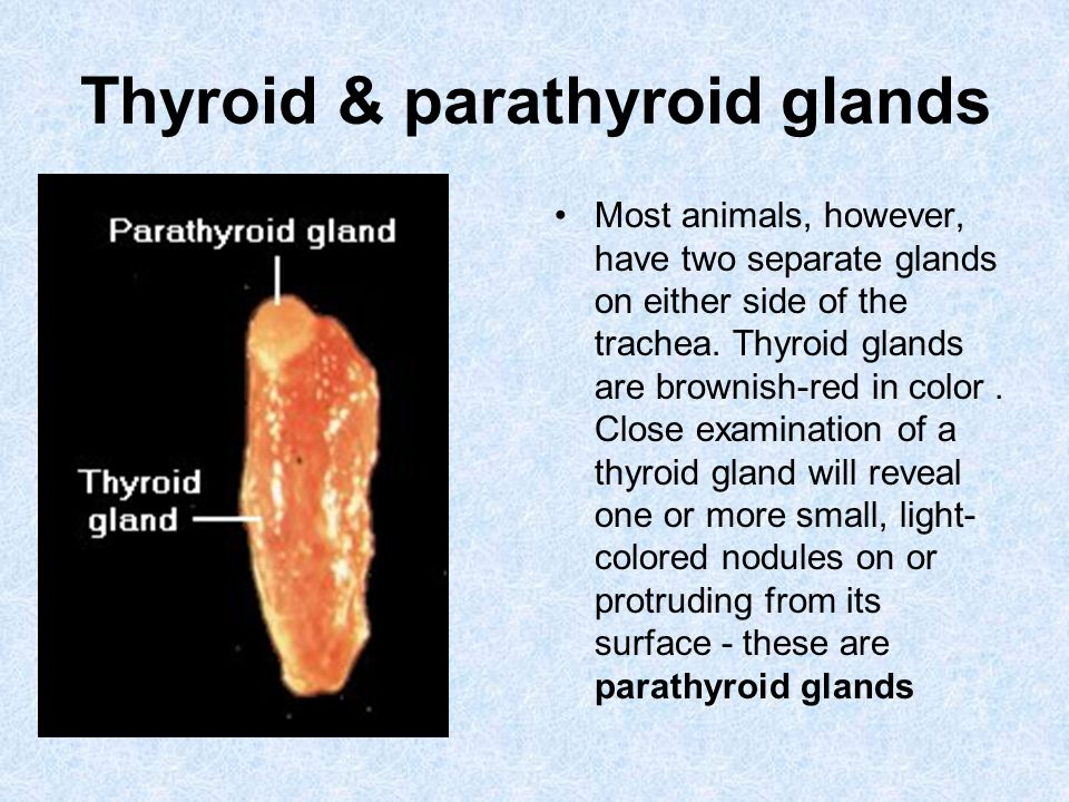 Thyroid & parathyroid glands Most animals, however, have two separate glands on either side of the trachea. Thyroid glands are brownish-red in color.